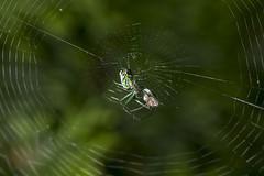 Spider eating series 3 (Richard Ricciardi) Tags: spider eating web spinne araa  araigne ragno timeseries     gagamba    nhn  spidertimeseries