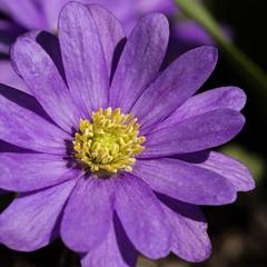 Schrfetest Tamron SP AF 60mm (S.I.B Fotos) Tags: macro sommer natur lila gelb anemone das pollen blume blte boke garten blanda balkanwindrschen
