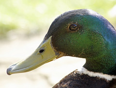 green (explored) (Dawn Porter) Tags: green duck somerset
