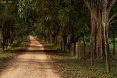 Caminhos de Guapiaçu (Waldyr Neto) Tags: road way estrada caminho árvores guapiaçú petp waldyrneto