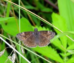 Wild Indigo Duskywing_0802 (Henryr10) Tags: brown butterfly cincinnati butterflies papillon mariposa farfalla schmetterling midsize hesperiidae bmna duskywing wildindigoduskywing erynnisbaptisiae pyrginae erynnis woodlandmound hamiltoncountyparkdistrict fieldmarks