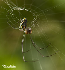 Venusta Orchard Spider (mikeyasp) Tags: detail macro closeup spiders creepy webs arachnida 8legs