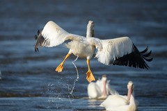 American white pelican [0611] (cl.lin) Tags: nature birds river mississippi inflight nikon midwest wildlife birding sigma pelican mississippiriver birdinflight americanwhitepelican d600 nikond600 lockanddam14 ld14