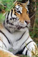 Panthera tigris altaica 4