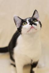 Manhattan (Save-A-Pet Adoption Center) Tags: male cat blackwhite kitten manhattan adopted saveapet 2013 newyorkslitter