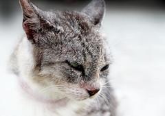Puuuuurrrrrrrr (ClickSnapShot) Tags: animal closeup cat pussy purr meow straycat