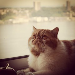The camera loves Garfield! #exoticshorthair #shorthairpersian #catsofinstagram #kitty #photooftheday #animals #pets #cats (ChesterSmooshyFace) Tags: cats square kitty exotic squareformat kitties shorthair squishface smooshyface exoticshorthair earlybird flatface smooshface flatfacedcat garfieldcat iphoneography shorthairpersian instagramapp uploaded:by=instagram