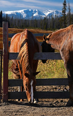 the end of a great friendship (thierry laflamme) Tags: horse cheveaux