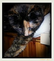 18.11.2013 - 321/365 (noisy__nisroc) Tags: pet animal cat mobil bonsai 365 flickrandroidapp:filter=none