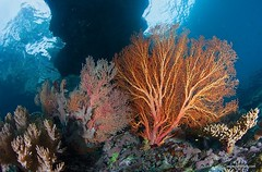 IMG_1494 (Andrey Narchuk) Tags: sea color coral indonesia fan underwater papua gorgonaria