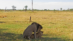 lions mating7, moremi (shelbyforester1223) Tags: botswana