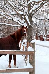 18th DEC | Horse's Christmas Eve (Toni Kaarttinen) Tags: christmas xmas winter horse holiday snow ice barn suomi finland season finnland december advent snowy blanket yule adventcalendar horsey finlandia holidayseason フィンランド finlande finlândia fece finnország finlanda finlàndia финляндия finnlando فنلندا
