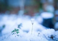 雪の華 (e_haya) Tags: winter snow sonynex5