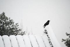Sun Yat Sen garden, Vancouver, 2013-12-20; 8563 (billpusztai) Tags: christmas xmas winter red sun snow pine vancouver garden bc chinese solstice classical lantern sen yat 2013 sunyetsen