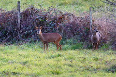 two Roe Deers in the wild (David B. - just passed the 7 million views. Thanks) Tags: life wild france nature animal animals countryside wildlife sony country deer hedge animaux campagne roedeer chevreuil mammifère a77 70300 brocard tarnetgaronne haie moissac capreoluscapreolus midipyrénées cervidé 70300g animalier mammifères chevrette sony70300gssm a77v sonyalpha77 sonydslta77v