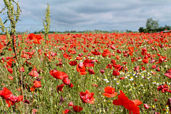 Poppies Field (Il_Pank) Tags: italy field europa europe italia poppy poppies campo grado papavero poppiesfield campodipapaveri