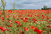 Poppies Field (Ilù_Pank) Tags: italy field europa europe italia poppy poppies campo grado papavero poppiesfield campodipapaveri