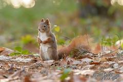 squirrel in autumn 2013 (Jan Canck) Tags: autumn nature animals forest nikon squirrel wildlife czechrepublik cz mammals rodents forestpark d800 sciurusvulgaris stedoesk mladboleslav nikkorafs70200mmf28gedvrii squirrelinautumn2013