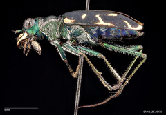 Cicindela obsoleta vulturina - Male (Specimens from the Zoology Collections at the DMNS) Tags: blue insectos green nature museum bug insect focus colorado shiny pin metallic beetle insects science denver bugs stack montage copper beetles predator museums biology tigerbeetle specimen ze zoology entomology combined specimens dmns pinned cicindela compiled focusstack carabidae helicon escarabajos denvermuseumofnaturescience cicindelidae zerene predacious cicindelinae zstack visionarydigital chrisgrinter