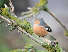 Chaffinch (Male) (Osgoldcross Photography) Tags: winter tree male bird feet nature nikon raw branch legs feeding tail beak feathers naturalhistory finch perch lichen claws chaffinch rspb perching nikond600 sigma150500mm rspboldmoor