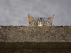 Cat on the wall (Dragan*) Tags: street animal cat eyes kitten expression serbia getty belgrade curiosity beograd srbija