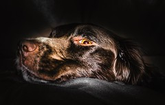 Moss (Jez22) Tags: copyright dog pet brown cute eye english animal puppy young canine indoors innocence spaniel spri