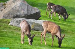 GrazingII (mcshots) Tags: california travel winter usa nature grass animals coast wildlife stock lawn canyon malibu deer socal mcshots mammals losangelescounty vision:outdoor=0955