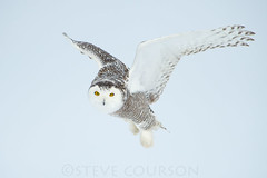 snowy owl in flight (Steve Courson) Tags: flying flight snowyowl snowyowlinflight stevecourson {vision}:{outdoor}=099 {vision}:{sky}=0614 {vision}:{mountain}=06