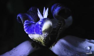 Apostle's Iris NEOMARICA GRACILIS -014