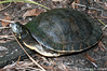 Alabama Red Bellied Turtle Alabama Red Bellied