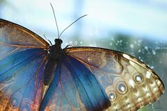Backlighting (hartp) Tags: blue light brown macro butterfly insect münchen licht braun blau botanicgarden insekt nahaufnahme schmetterling botanischergarten hartp