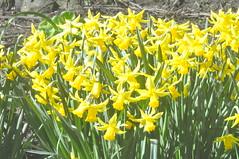 Pavilion_Gardens_0021 (Peter-Williams) Tags: uk flowers garden sussex countryside brighton crocus daffodil parkland carmelia paviliongardens