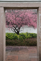 Plum Blossoms and other Flora in Ningbo, China (SUPERADRIANME) Tags: china flowers spring flora ningbo plumblossoms