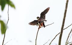 Bat Falcons Mating (Xuberant Noodle) Tags: bird day shot belize bat best raptor falcon mating prey mate