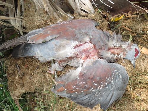 Speckled Pigeon  struck by  Lightening_1953