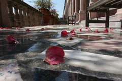 Scattered [Explored 3/26/14] (Flint Foto Factory) Tags: city winter vacation urban art beautiful beauty museum john march petals spring flickr florida explore sarasota mable ringling scattered foundontheground 2014 explored