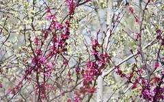 Arbre de Judée IMG_8122 (6franc6) Tags: fleur 30 rouge languedoc gard 2014 milhaud 6franc6