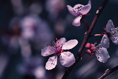 Disappearing (Carrie McGann) Tags: pink flowers blue green interesting nikon bokeh blossoms plumblossoms 040614