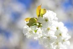 Blanche (StephanExposE) Tags: blanc blanche white cerise cerisier cherry cherrytree sakura printemps spring canon 600d 50mm marestsurmatz oise france fleur flower stephanexpose catchycolors