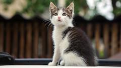 gatto (©Andrey) Tags: portrait pets green smart cat kitten outdoor gatto ilobsterit