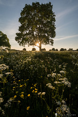 Buttercups and Cow Parsley (Justin Haynes Photography) Tags: trees light sunset summer sky cloud tree green nature landscape warm warwickshire buttercups cowparsley southam