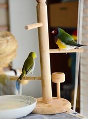 DSC_7849 (Jenny Yang) Tags: pet bird lady finch gouldian