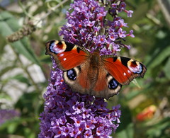 Don't forget to count the butterflies! (Twoshoes3) Tags: butterflies peacock bigbutterflycount