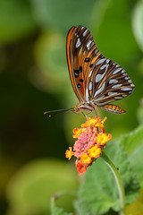 DSC_0957 (Kelson Souza) Tags: borboleta borboletas natureza butterfly