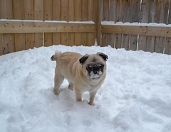 The Morning After The Storm (DaPuglet) Tags: pug pugs dog dogs animal animals pet pets snow winter storm snowstorm ontario canada