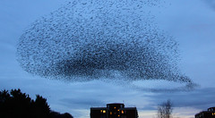 IMG_6349 (itchenbirds) Tags: starling winchester murmuration