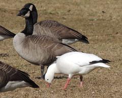 Ross's × Snow Goose(?) (Anita363) Tags: goose white whitemorph chen anatidae anseriformes waterfowl bird fauna johnsonpark highlandpark nj newjersey february hybrid rosssgoose×snowgoose snowgoose×rosssgoose chencaerulescens×rossii chencaerulescensxrossii