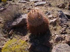 Ferocactus cylindraceus  DSC00230 (sierrarainshadow) Tags: ferocactus cylindraceus dry wash new york mountains mojave national preserve