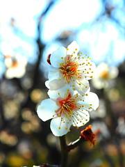 P3044068_1 (marshall0210) Tags: 日本庭園 兼六園 garden kenrokuen japanesegarden japan flower plumblossoms plum