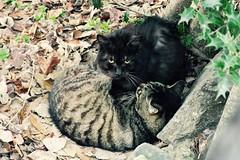 Today's Cat@2017-03-15 (masatsu) Tags: cat thebiggestgroupwithonlycats catspotting pentax mx1